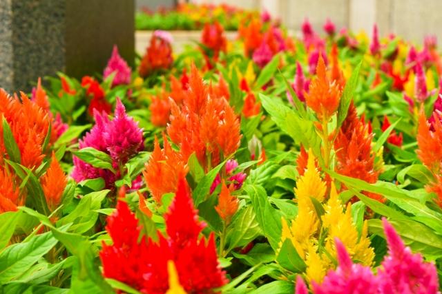 カラフルなケイトウの花壇