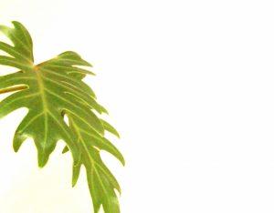 クッカバラの葉