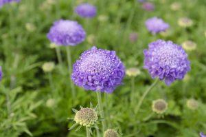 紫色のスカビオオサ