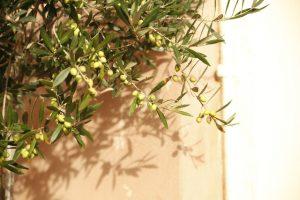 結実したオリーブの木