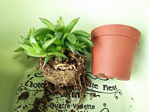 多肉植物ハオルチアの植え替え