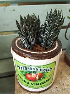 陶器に植えた硬葉ハオルチア