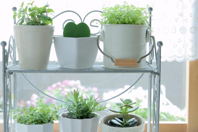 レースカーテン越しの観賞植物達