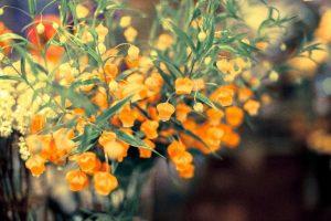 サンダーソニアの切り花