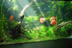 水草とディスカス水槽