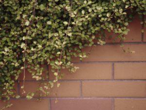 壁を乗り越えて繁殖するワイヤープランツ