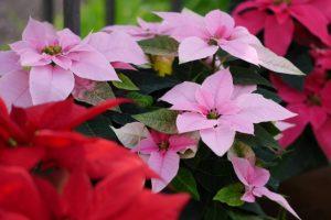 ピンクと赤のポインセチア