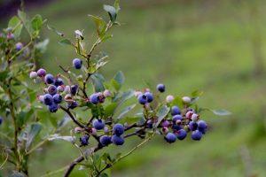 結実したブルーベリーの木