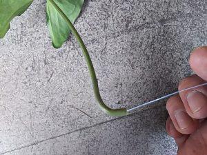 ワイヤーを挿入して曲げた植物