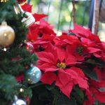 ポインセチアとクリスマスツリー