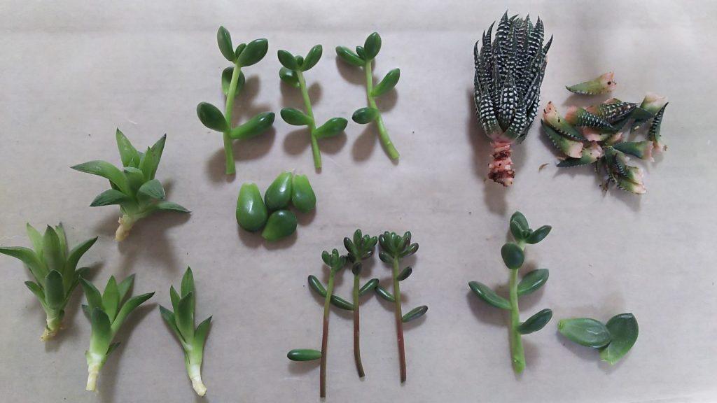 多肉植物の挿し穂