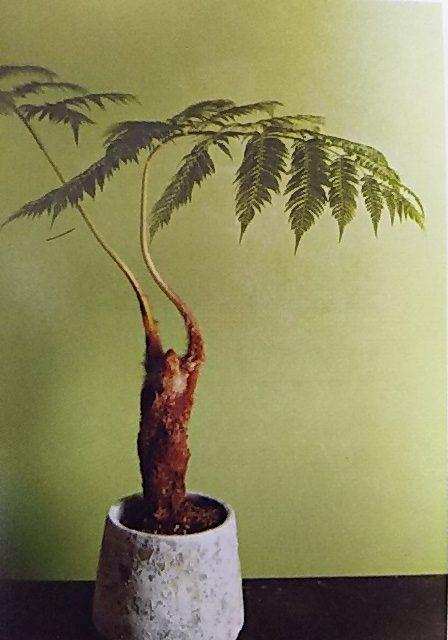 シダ植物 ヘゴ