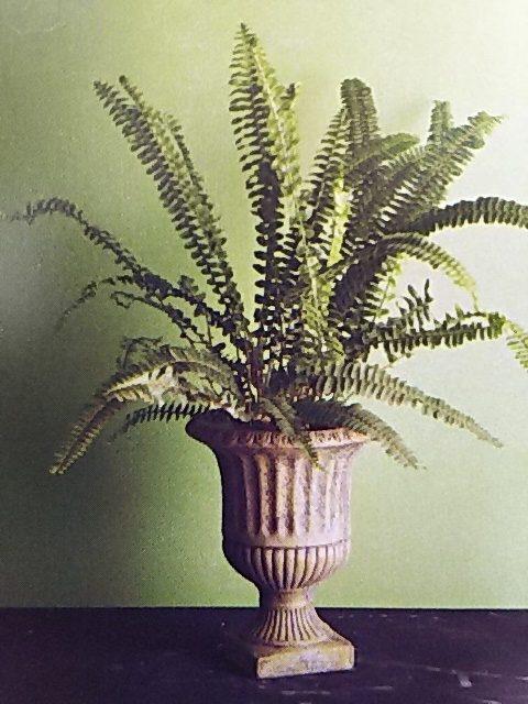 シダ植物 タマシダ