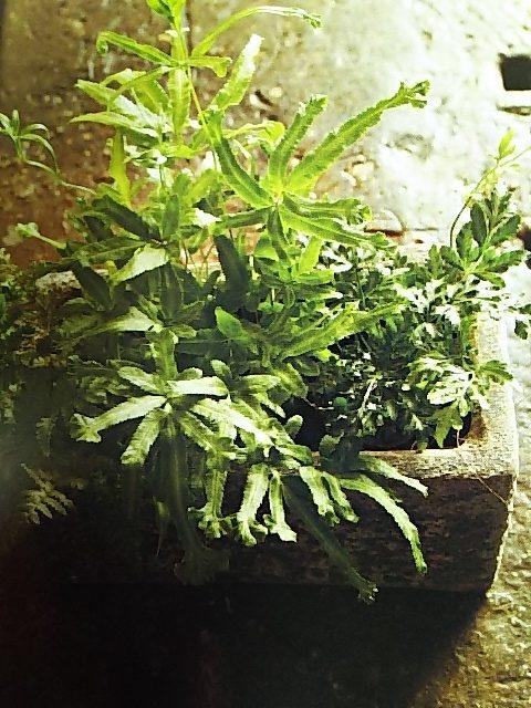 シダ植物 プテリス