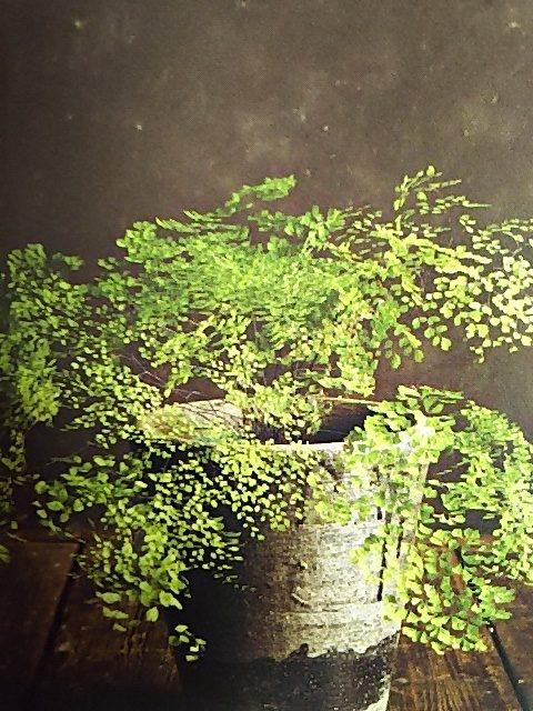 シダ植物 アジアンタム