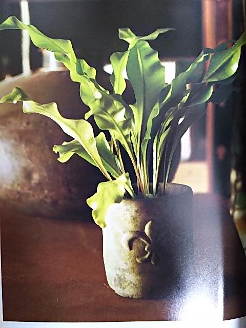 シダ植物 アスプレニウム