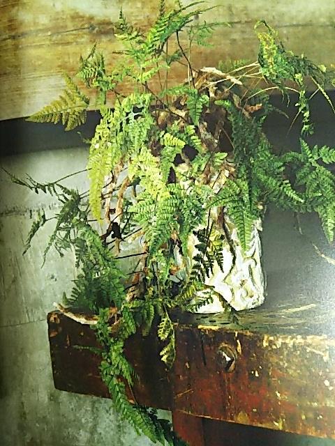 シダ植物 トキワシノブ