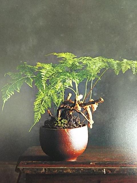 シダ植物 ダバリア