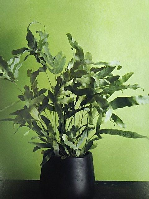 シダ植物 フレポディウム