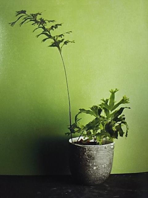 シダ植物 ポリポディウム