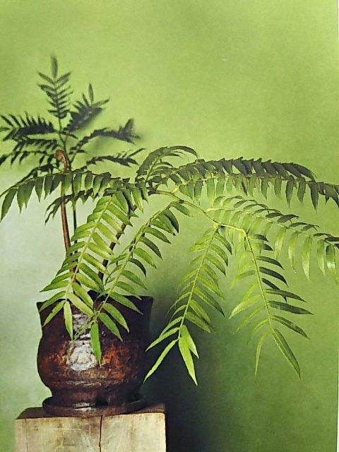 シダ植物 リュウビンタイ
