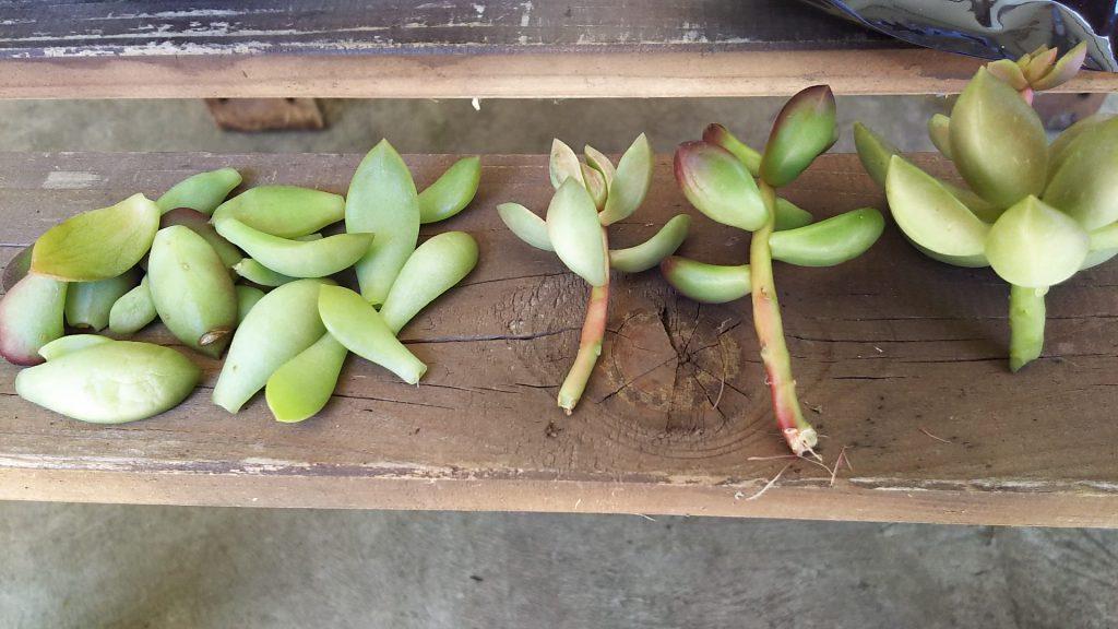 下葉をとった多肉植物