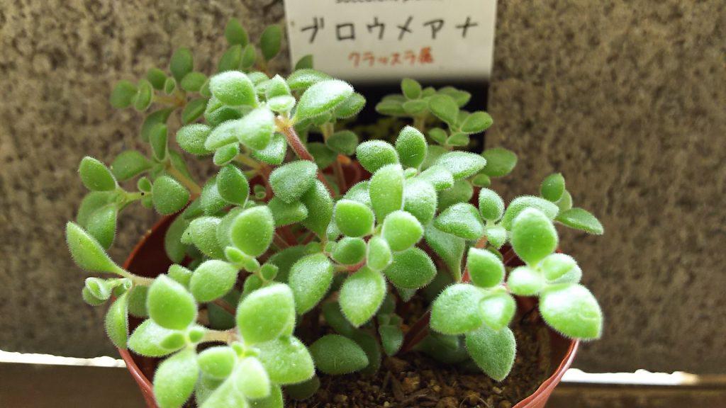多肉植物 ブロウメアナ