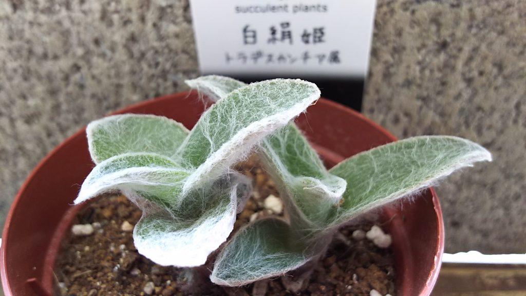 多肉植物 白絹姫